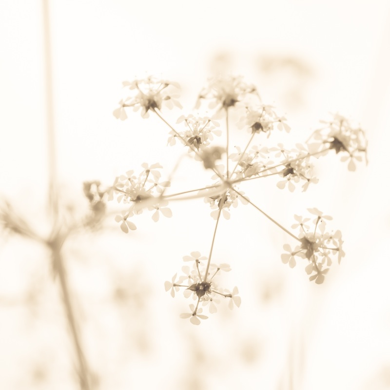 Fragile Cow Parsley
