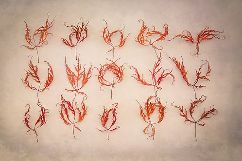 Acer Feathers