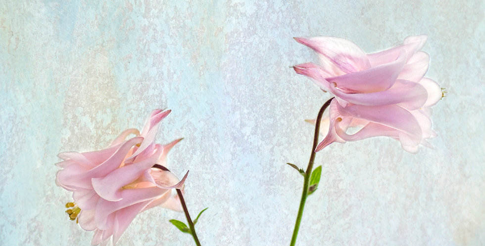 Two Pink Columbines
