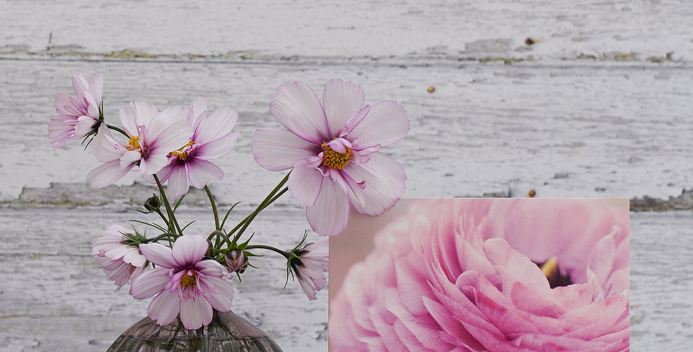 Dusky Pink Ranunculus
