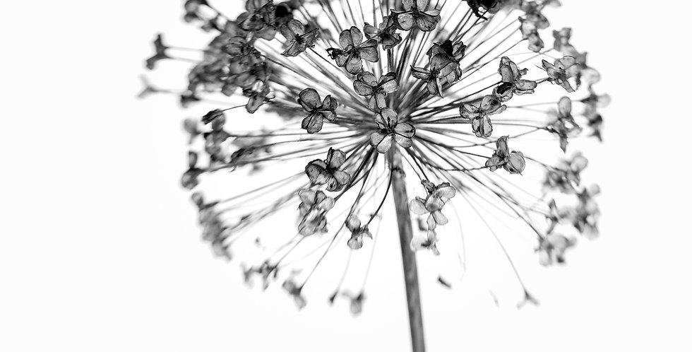 Lensbaby Winter Allium