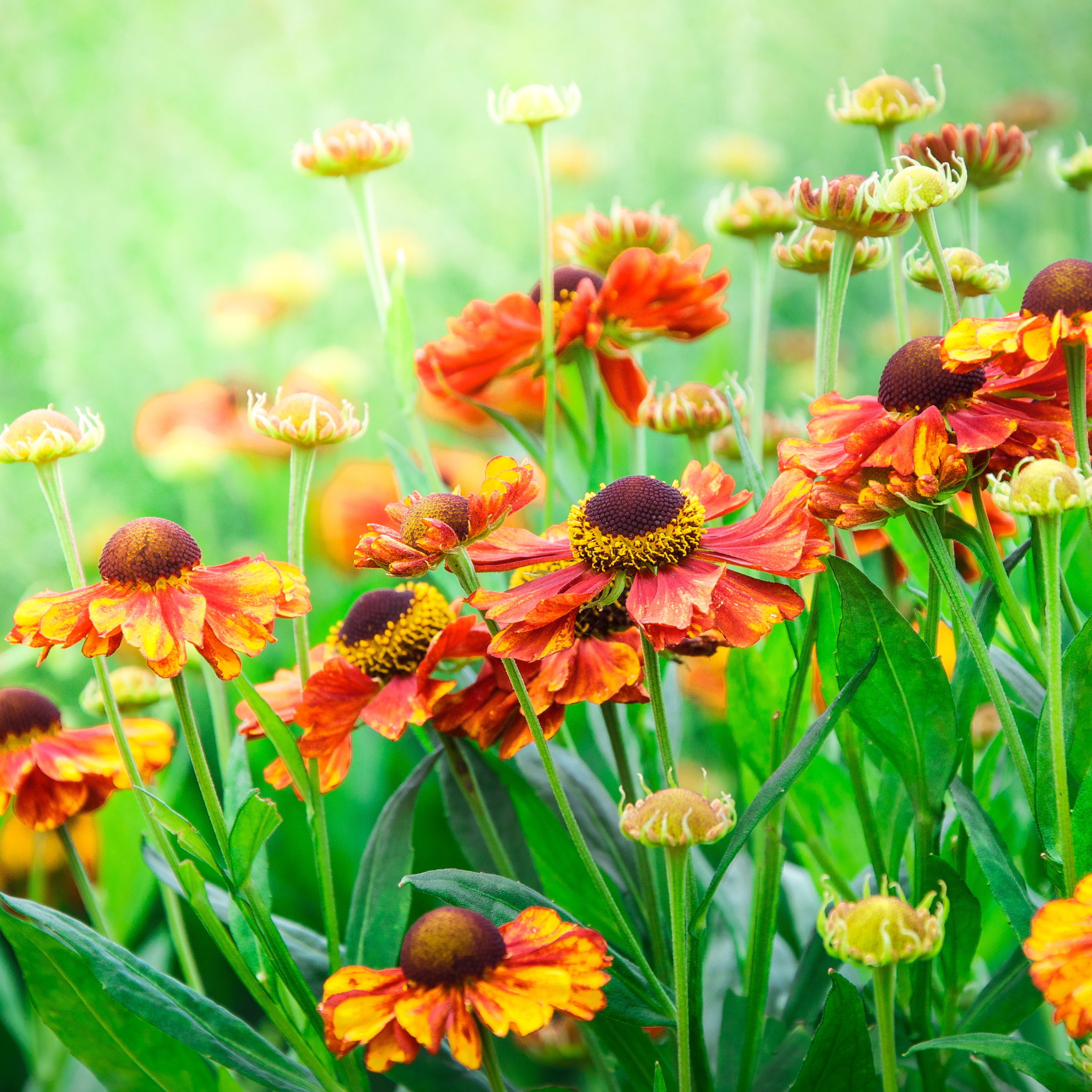 Evening Sun On Helenium
