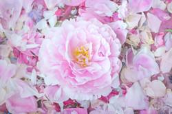 Peony Bloom on Petals