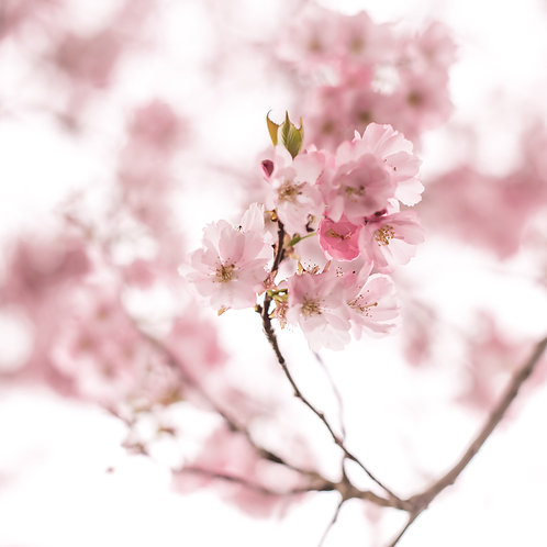 Blossoms of Cherry