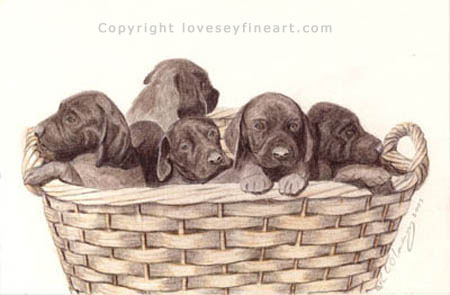 Short haired German Pointer Pups