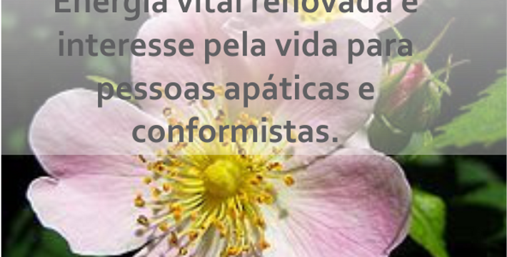 Wild Rose - 30ml