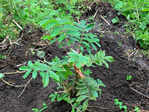 Bettina planting a tree at Bisate - Nov 2019