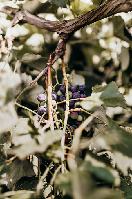 grapes, wine, vineyard, winery, Ioa, Loess Hills