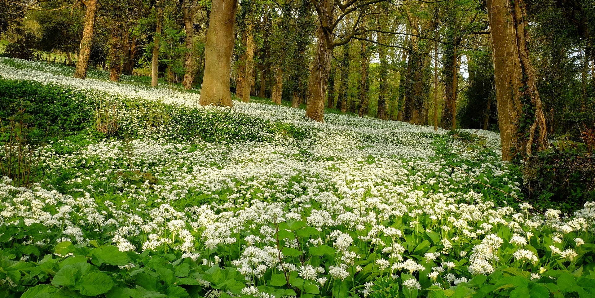 (March) Perfusion of Wild Garlic.JPG