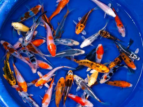 Live-Koi-Fish-10-Lot-Assorted-A-Grade-Qu