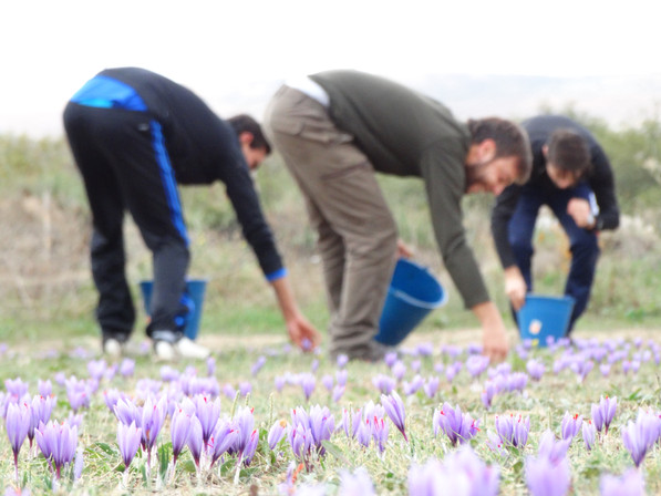 Saffron Cultivation – Processing the Red Gold