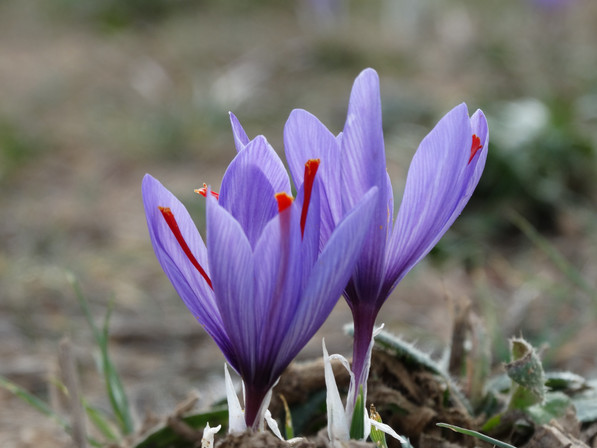 Researched Effects of Saffron on Hair and Skin