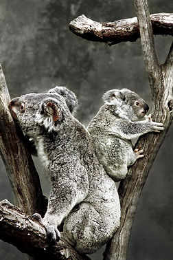 Koala2w.jpg