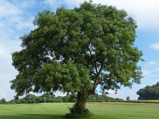 ash-tree-640x480.jpg