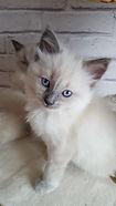 Chat ragdoll aux yeux bleus traditionnel, mink ou sépia