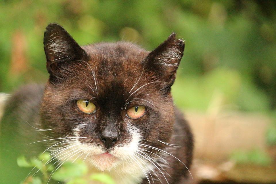 Gato castrado con la correspondiente marca en la oreja