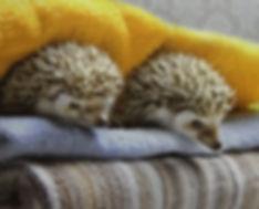 hedgehogs.jpg