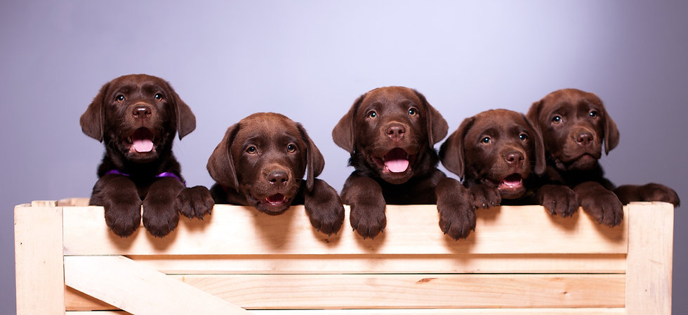 Labrador%20puppies_edited.jpg