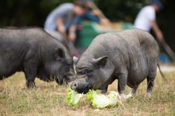 guide-du-cochon-taille-poids-02
