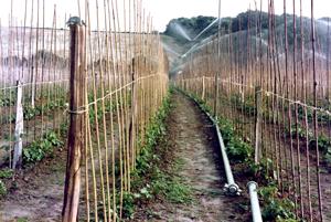 1985 - Irrigating Runner Beans