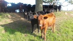 Aberdeen Angus Frickley Herd