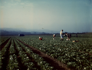 1971 - 15 acres of lettuces - that is a lot of lettuces!
