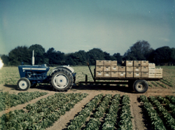 1971 - Trailer full of lettuces ready for market