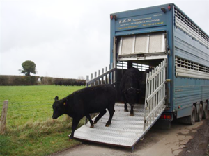 Arrival of Eric and his ladies - the start of the Frickley Herd