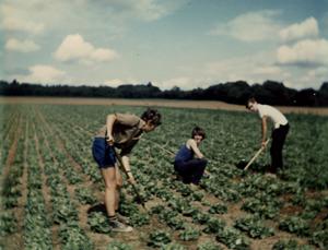 1971 - Lettuce hoeing