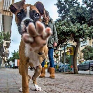 adorable-animals-boxer-cute-Favim.com-28