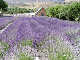 get married in a lavender field reno