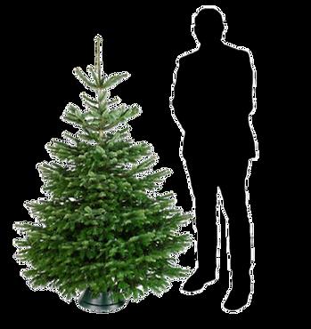 Nordmann kerstboom 1,50 - 1,75
