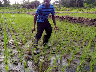 AZOLLA TO REDUCE SUBSISTENCE FARMER COSTS IN SIERRA LEONE