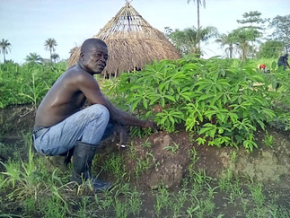 HOW DOES OUR CASSAVA GROW?
