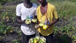 HARVESTING MAIZE, MOKABI & SWEET POTATO