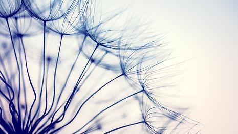 beautiful-dandelion-flower-PJGV72T_edite