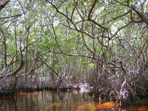 THE INDIAN MANGROVE SAGA: A WORRYING CONCERN