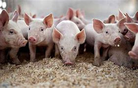 THE NEED FOR LEGISLATION ON THE MAINTENANCE AND REARING OF FARMED PIGS IN INDIA