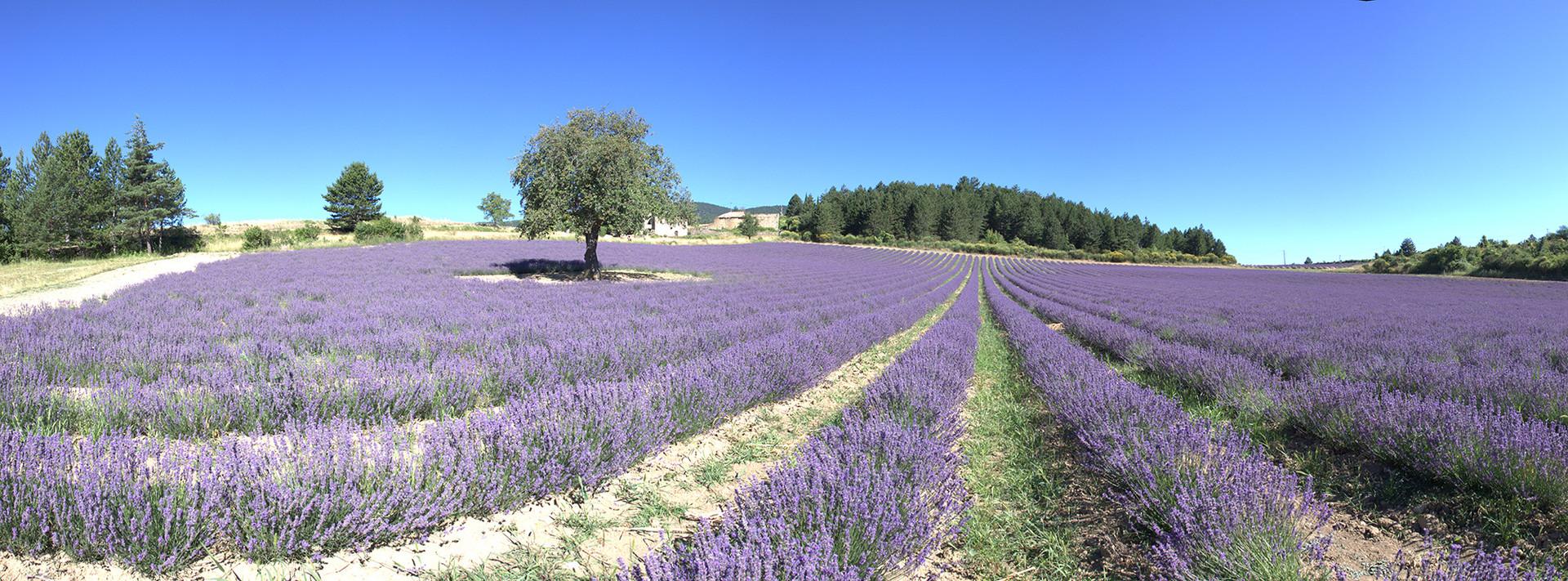 PHOTO Vaucluse lavandes panoramique