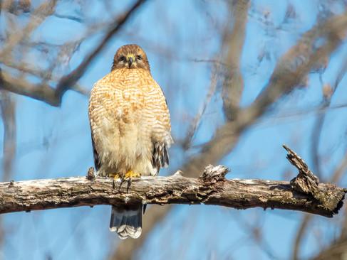 A hawk facing us is a good omen