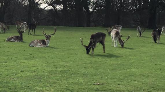 Reindeer at Phoenix Park.MOV