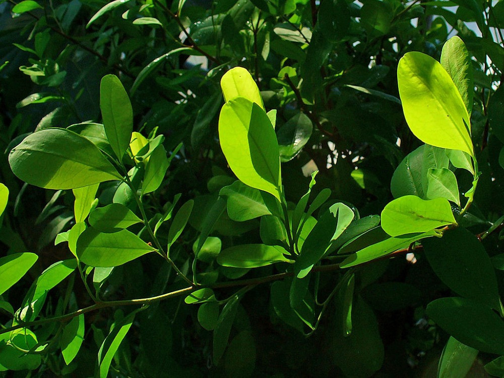 https://commons.wikimedia.org/wiki/File:Erythroxylum_coca_001.JPG