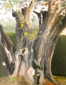 Olive tree in Matisse's garden