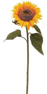 Strong TALL Sunflower
