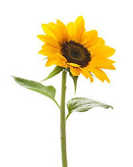 sunflower long stem 1.jpg