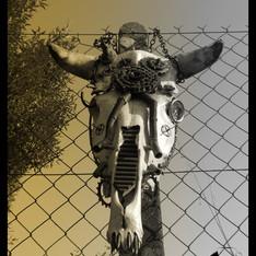 Skull de dromadaire et skalp de vache  Kustom