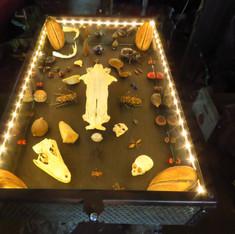 Table lumineuse avec collection d'insecte, de crânes et de graines de Guyane