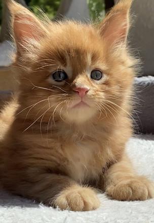 女性のメインクーン子猫