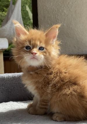 赤毛の女性のメインクーン子猫