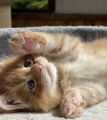 chaton femelle robe rousse